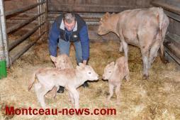 Voir notre vidéo - Insolite et très rare : une génisse donne naissance à trois veaux à Gourdon...